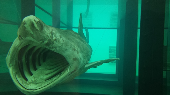 massive shark in formaldehyde tank