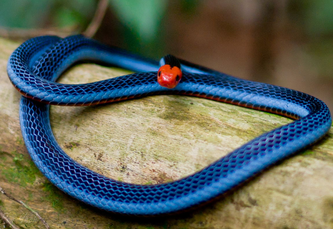 The Blue Coral Snake in Singapore | The Natural Traveller
