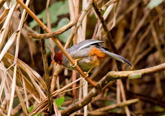 the first bird we saw was the chestnut capped laughing thrush..not an endemic..