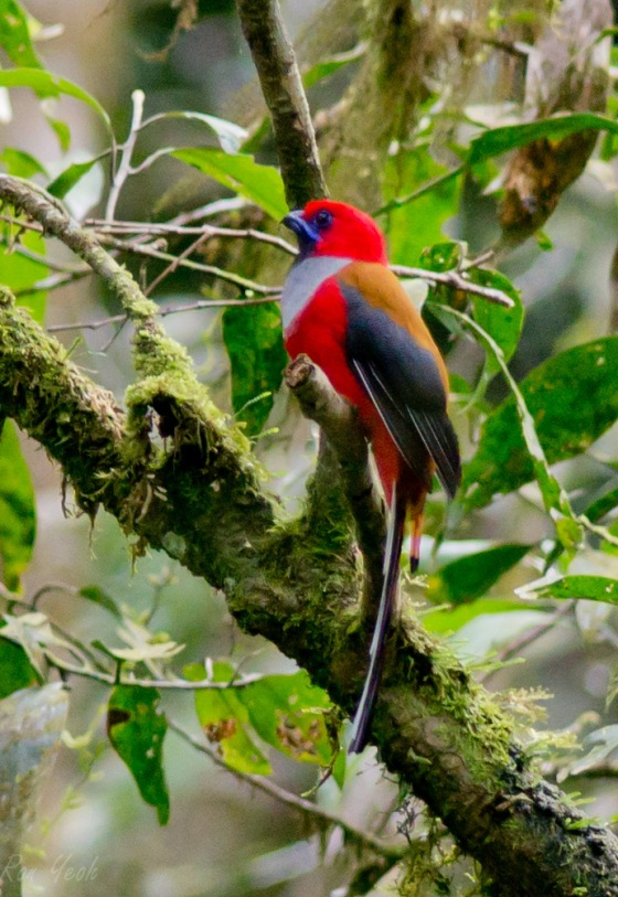side view of trogon