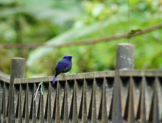 the blue nlitava was the first gorgeous bird we saw within minutes...