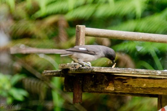 long tailed sibia