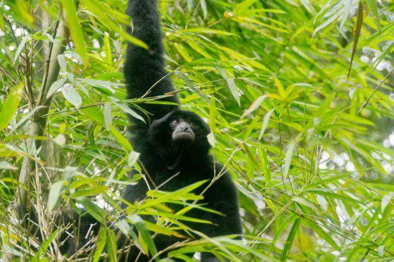 a siamang...a local primate