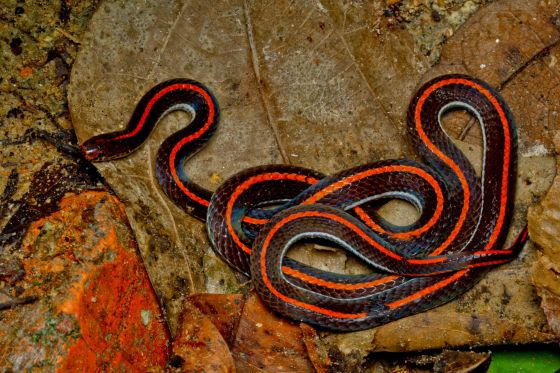 the Malayan Banded Coral Snake: