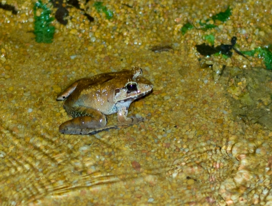 Malayan Bull Frog?