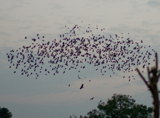 Huge  flock of starlings welcoming us at the moonlight garden