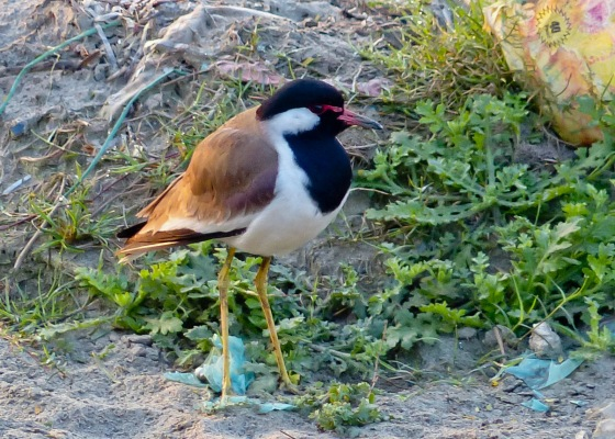 Red wattled lapwing up close