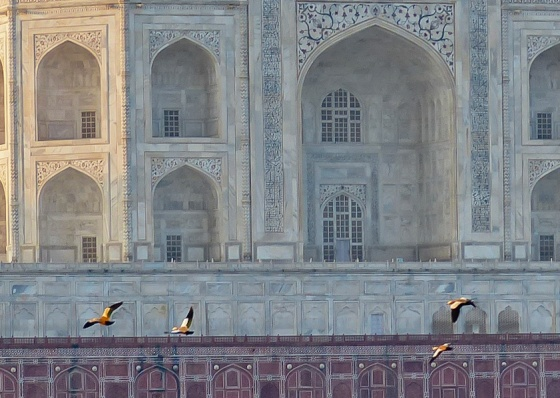 flock of brahminy ducks with the Taj in background