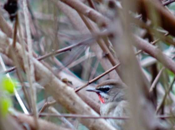 The elusive Siberian Ruby Throat