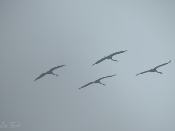 sarus cranes in flight
