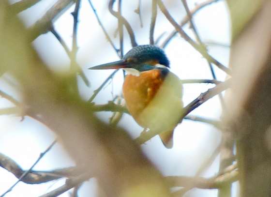 the uncommon common kingfisher