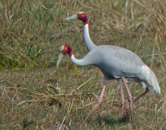 a pair of sarus cranes