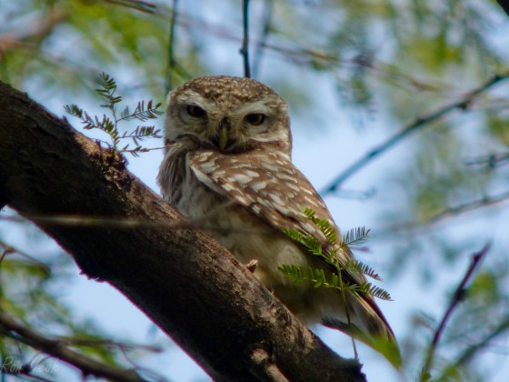 little spotted owl