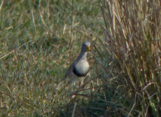 grey headed lapwing