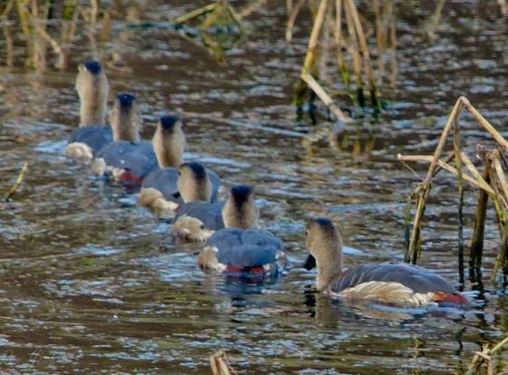 6 pretty duckies all in a row..