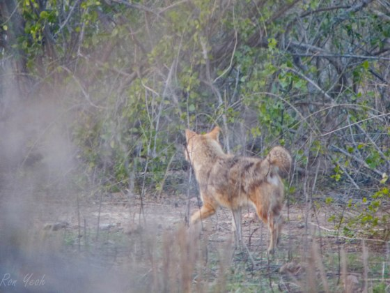 golden jackal from afar