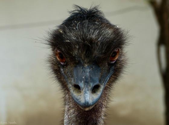 An emu welcome