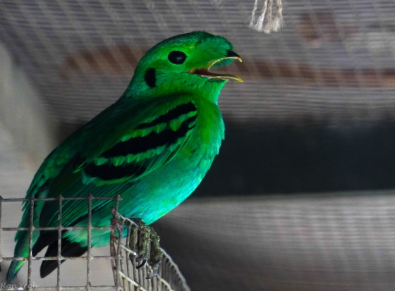 spectacular green broadbill