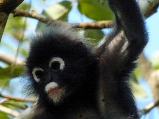 spectacled simian