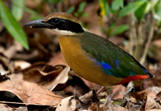 the Mangrove pitta