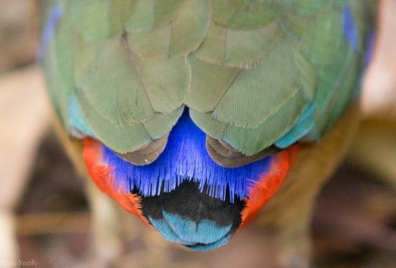 tail detail of Mangrove pitta
