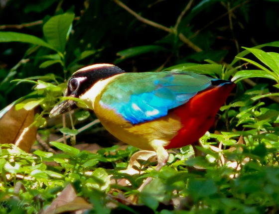 brilliantly coloured BW pitta with large blue wing patch