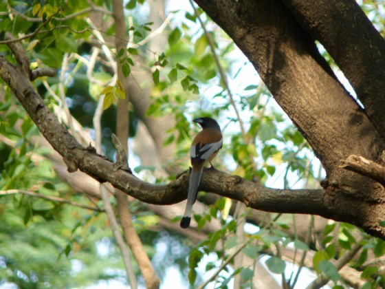 the ubiquitous rufous treepie