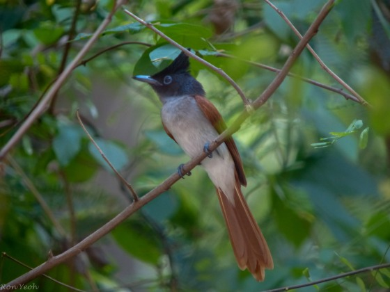probably the prettiest bird this morning...the Asian Paradise Flycatcher