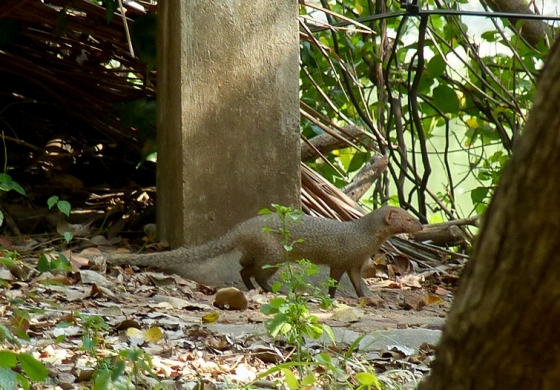 this handsome fellow popped up..otter or mongoose?