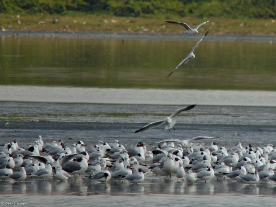 huge flock of gulls
