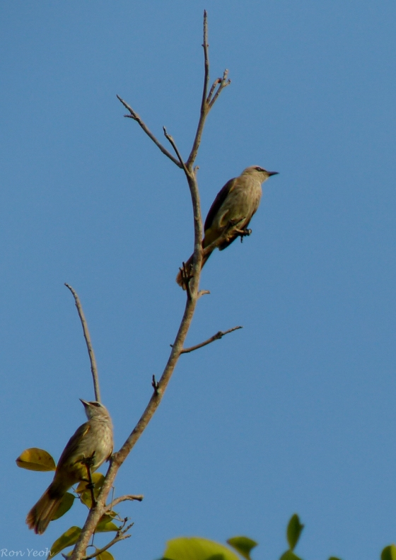 the common yellow vented bulbul