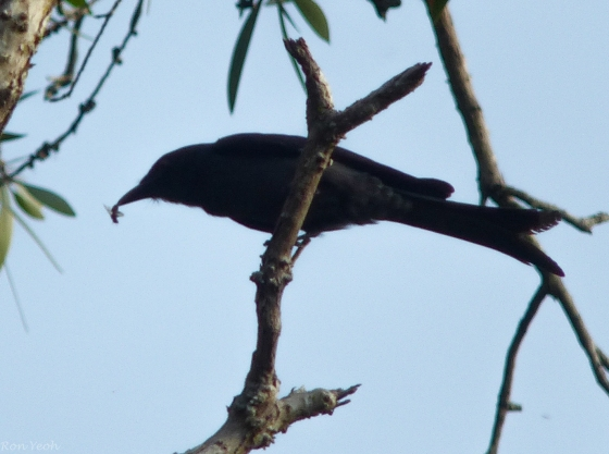 black drongo with insect in beak..