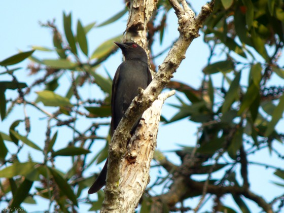 black drongo with forked tail