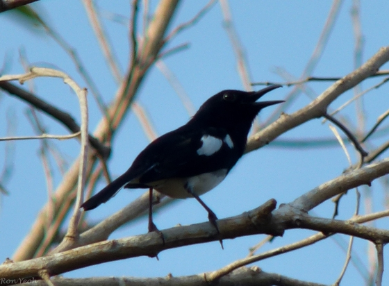 magpie robin adult and juvenile