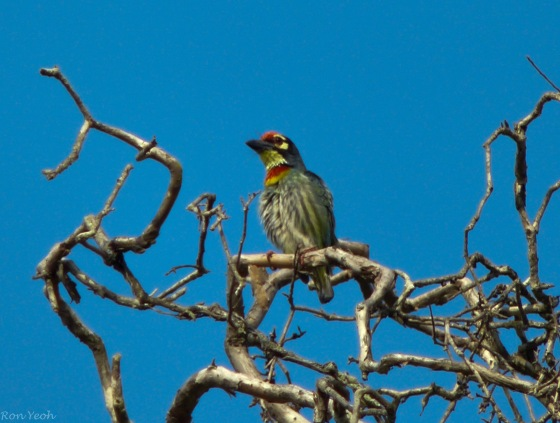 the always beautiful coppersmith barbet