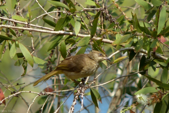 the uncommon olive winged bulbul
