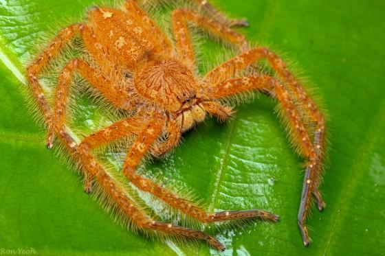 garfield spider!