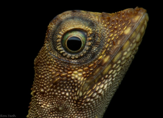 Dinosaur like variable lizard with awesome eye detail
