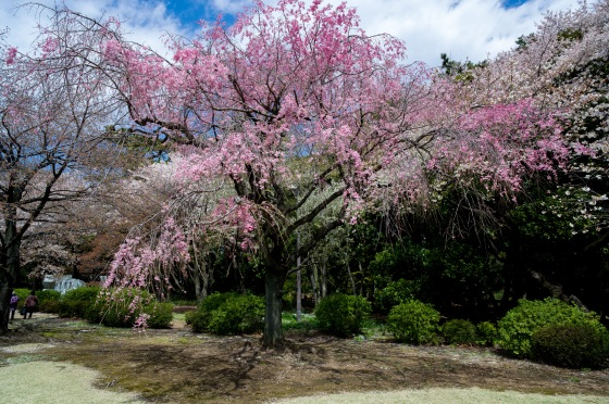 pink sakura in Shinjuku Gyoen park