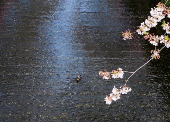 sakura at meguro