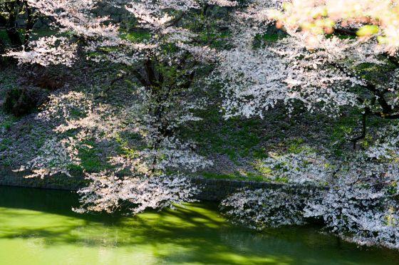 cherry blossoms at chidorigafushi