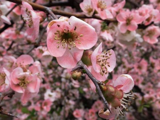 close ups of different varieties of sakura