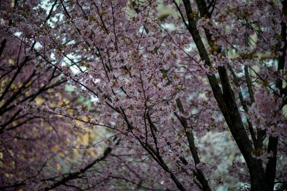 cherry blossoms in boston common