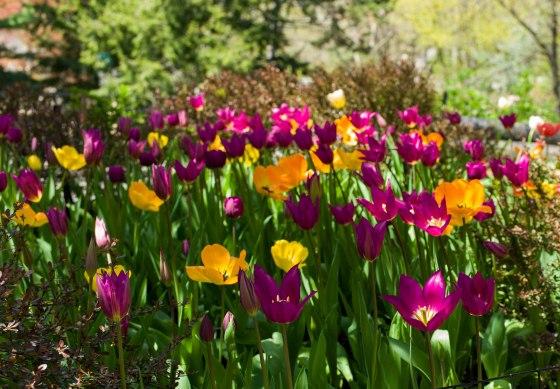 tulips in n bloom