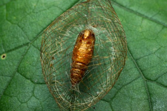 cocooned pupa