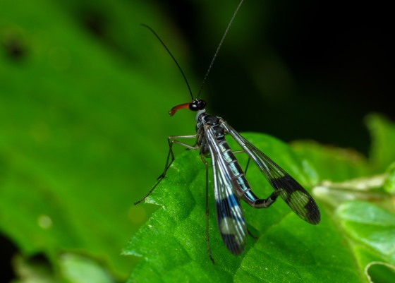 scorpion fly..note the recurved tail like a scorpion's