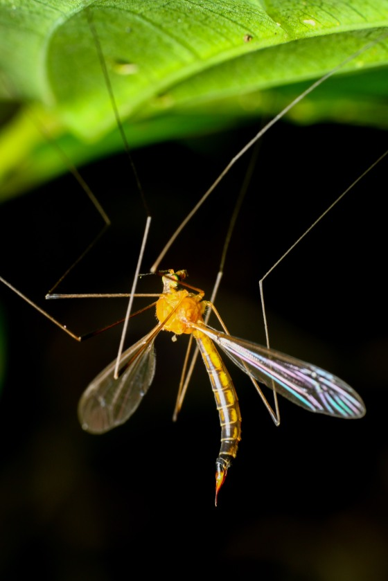 the uncommon crane fly