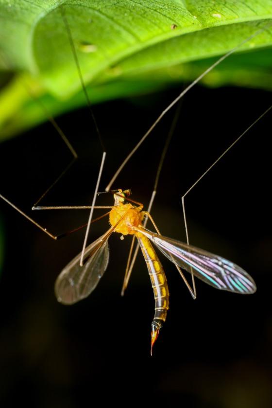 the uncommon crane fly