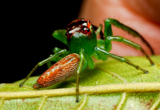 brilliantly coloured jumping spider