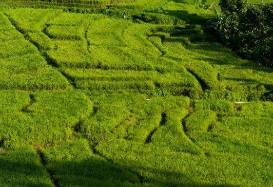 terraced rice padi fields